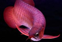 Cách nuôi cá rồng nhanh lớn