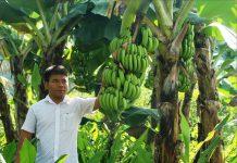 Hé lộ kỹ thuật trồng chuối lùn đạt năng suất cao