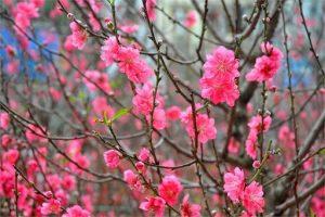 cây kiểng: Hoa đào
