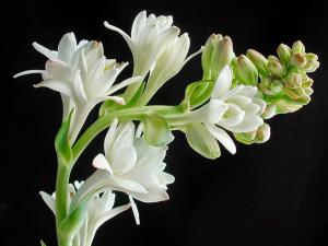 Nguồn gốc của tên hoa huệ