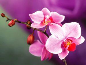 Loại cây kiểng: Hoa lan