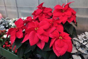 Loại cây kiểng: hoa trạng nguyên