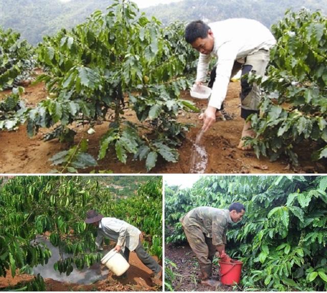 Chú ý đến cách làm bồn cho cây cà phê để thuận tiện cho việc bón phân và tưới nước