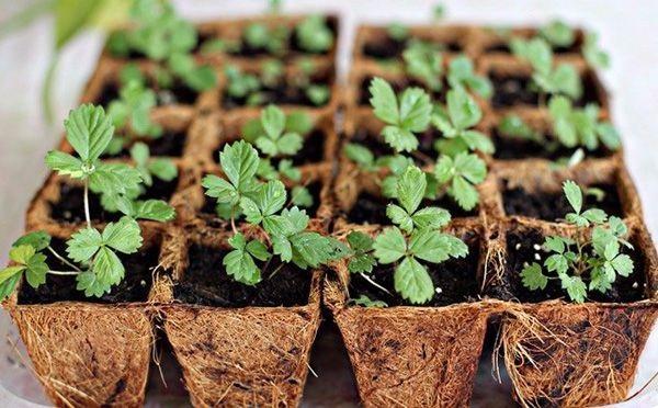 Chọn cây dâu tây giống sẽ sinh trưởng mạnh và cho năng suất cao hơn