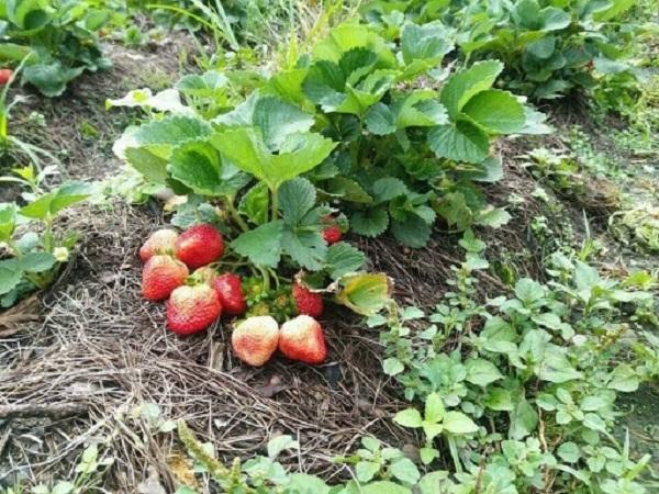 Dâu tây trồng xong được chăm sóc ở điều kiện thích hợp sẽ nhanh cho hoa