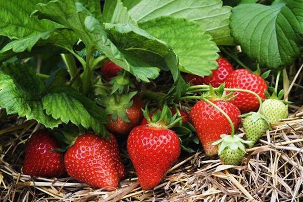 Thời điểm thích hợp nhất để trồng dâu tây chính là từ tháng 4 - 5 dương lịch