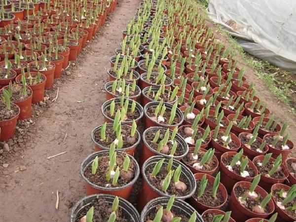 Hoa Ly có thể trồng vào bất cứ thời điểm nào trong năm, nhất là ở vùng khí hậu ôn đới