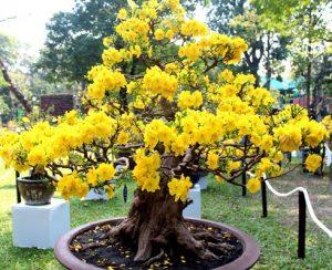 Loại cây kiểng: Mai vàng