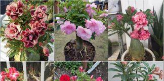 Cách trồng hoa sứ Thái bonsai