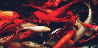 Nuôi cá Koi – quốc ngư xứ Phù Tang đem lại tài lộc cho gia chủ
