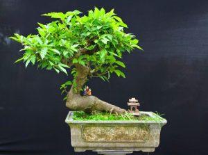 Loại cây kiểng: sung cảnh