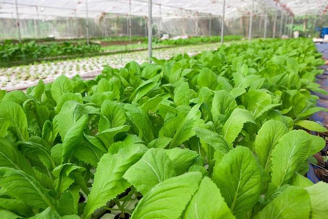 Thời gian sinh trưởng của rau hữu cơ sẽ lâu hơn so với rau trồng thông thường