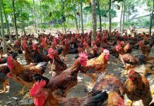 chi phí nuôi 100 con gà