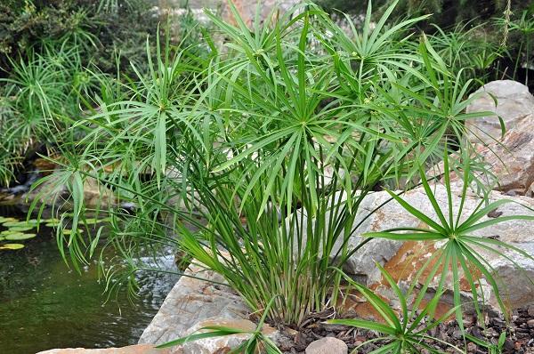 Nói đến những loại cây có khả năng xử lý nước thải thì không thể bỏ qua cây thủy trúc