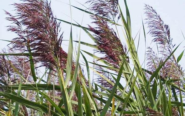 Cây sậy là một trong những loại thực vật tự nhiên có khả năng xử lý nước thải rất hiệu quả