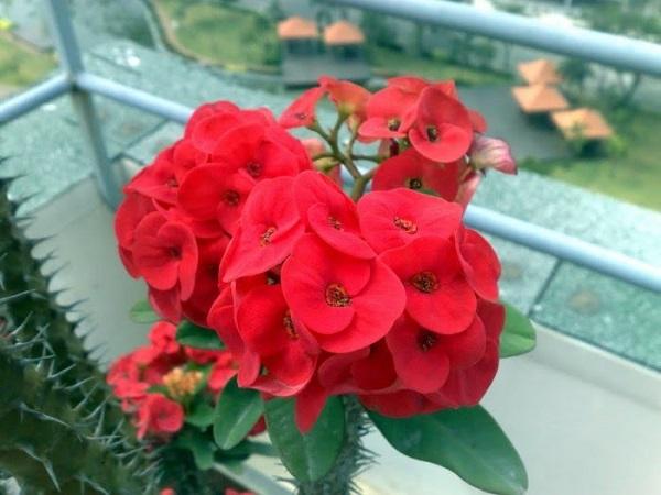 Xương rồng bát tiên nở hoa quanh năm