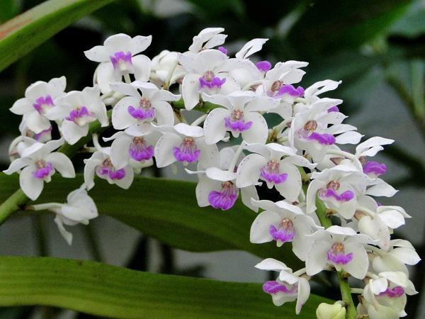 Hoa phong lan là loài cây mang ý nghĩa tốt đẹp được yêu thích