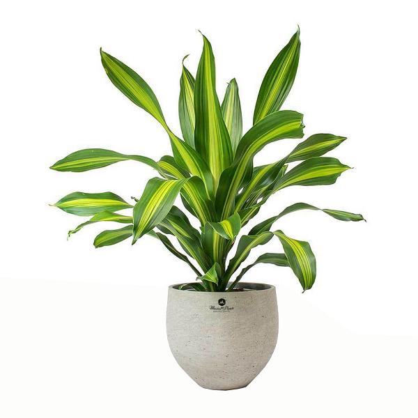 Đúng như tên gọi, cây mang ý nghĩa phong thủy về tài lộc, thịnh vượng