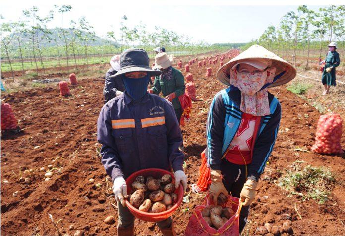 Trồng khoai tây tại Gia Lai